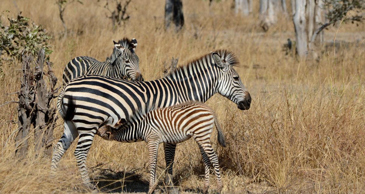 flickr_-_ggallice_-_plains_zebra_2